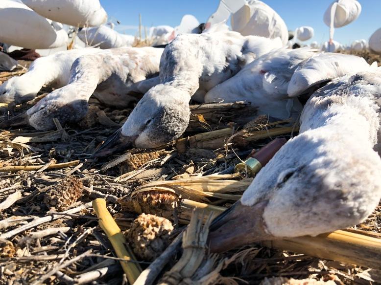 Snow Goose Hunting